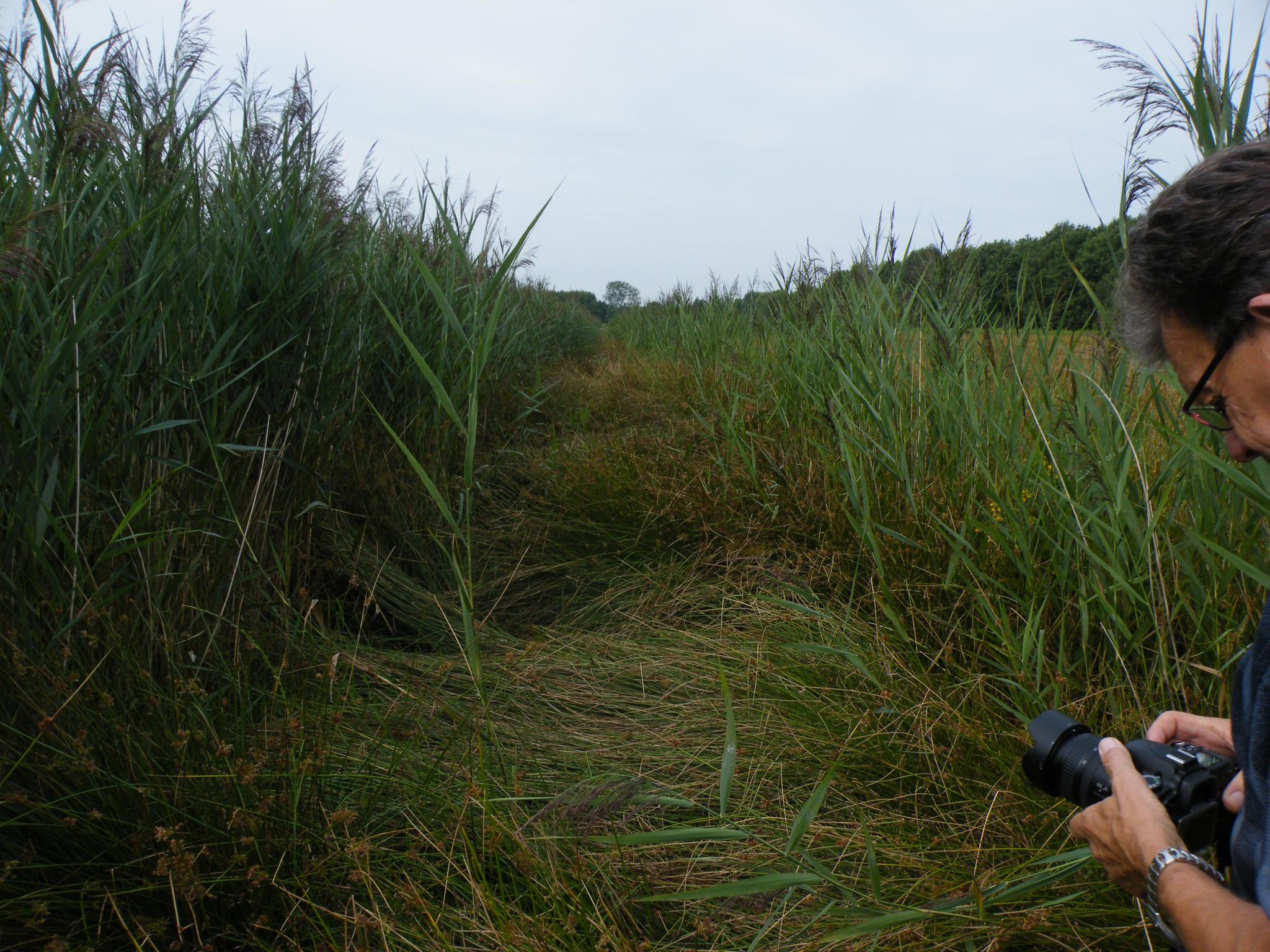 Droog in de natuur mantingerveld - Riet voor struik ...